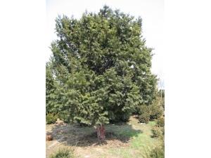 红豆杉乔木