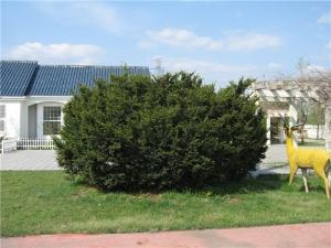 红豆杉灌木