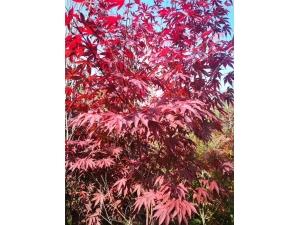 日本红枫(耐寒)