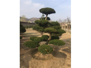 红豆杉造型
