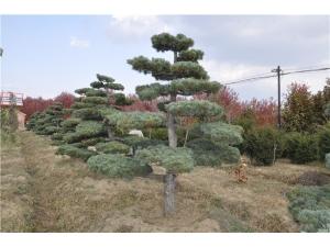 日本五针松
